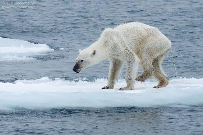 polar-bear-MAIN2